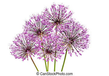 Allium flowers isolated on white background