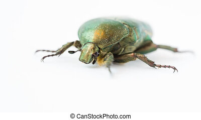 Green beetle - Closeup view of green beetle (Cetonia Aurata)...