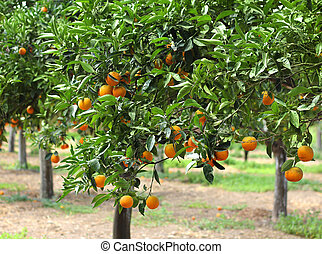 Orange grove - Orange trees with fruits growing in orchard
