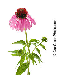 Purple Coneflower isolated on white