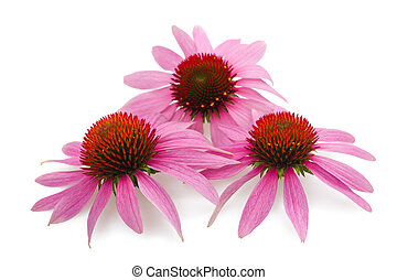 coneflowers - Three sunflowers isolated on white