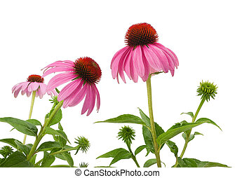 Purple Coneflowers isolated on white background