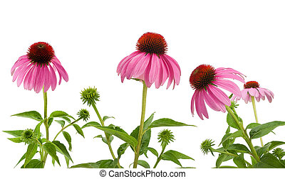 Purple Coneflowers isolated on white