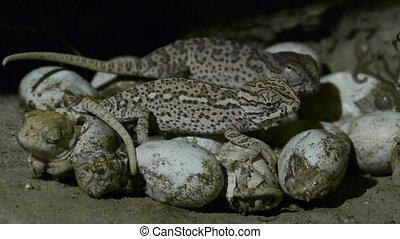 birth of chameleon - Birth chameleon leaving the egg in the...