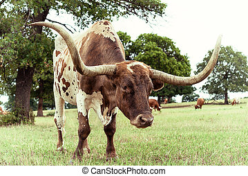 Texas Longhorn cattle grazing on pasture - Closeup of Texas...