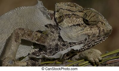 chameleon moulting head, trunk, and extremities