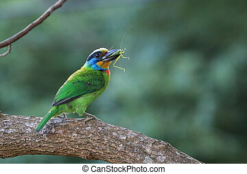 Mullers Barbet,a colorful bird Mullers Barbet biting insect...
