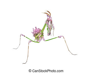 Unusual exotic insect bright colored mantis with long...
