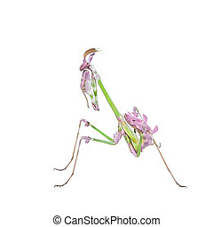 Vibrant colored tropical raptor insect mantis in fighting...