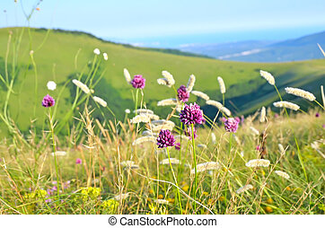 Allium flowers on mountain meadow, selective focus