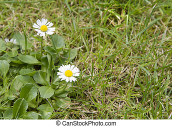 Daisies growing in grass lawn