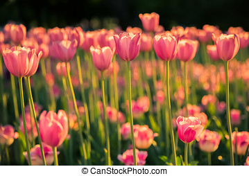 The pink tulips on dark background in the sunlight.