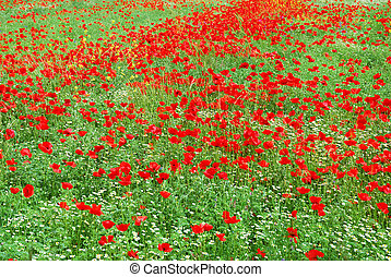 Red poppy field blooming in springtime