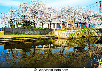 Sakura season in Kaizu Osaki, Japan - Shiga Prefecture,...