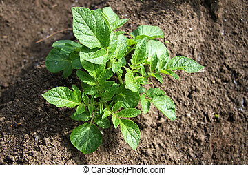 potato plant - a young potato plant photographed in the...