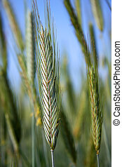 young wheat - a spike of young wheat photographed in the...