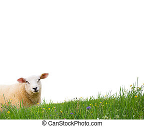 Sheep isolated - Sheep with grass isolated on white