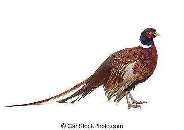 pheasant  -  pheasant hunting is photographed in studio