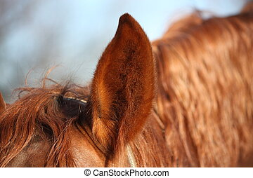 Close up of chectnut horse ear and mane