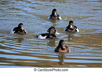 Tufted Ducks (aythya fuligula) on the water at Warnham...