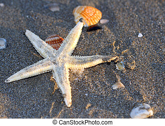 Starfish on the sandy sea beach with other shells 2 - white...