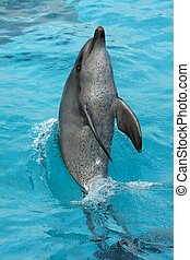 Dolphin Tail Walk - Bottlenose dolphin tail walking in the...