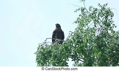 Hawk bird - Hawk sitting on a birch
