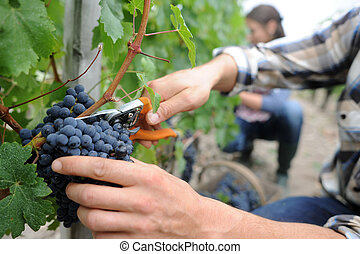 Closeup on bunch of grapes being picked from row
