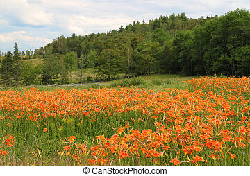 Tiger lilies in the rural field