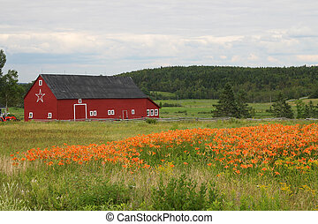 Rural barn and tiger lilies - Rural farm and orange tiger...