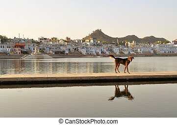 Dog at lake in holy city of Pushkar, India - Dog at the...