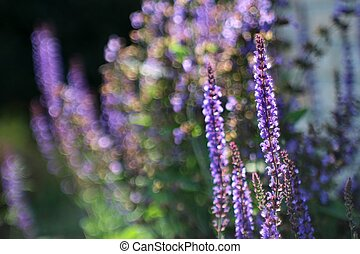 Flowering Sage with bokeh (Salvia n