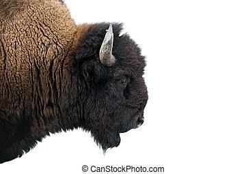 norteamericano, bisonte, Yellowstone, nacional, parque
