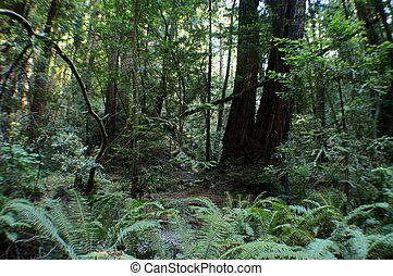 redwoods - Redwoods forest in Muir woods