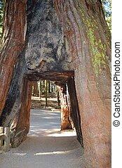 Sequoia - Tunnel through a giant sequoia