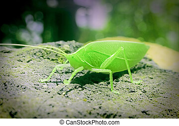 Tettigoniidae, katydids, bush cricket