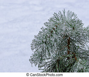 Frozen pine needles on white - Frozen ice-covered pine...