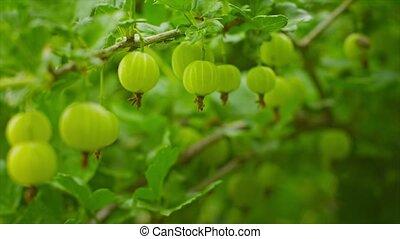 Green gooseberries ripen on the bushes - Video 3840x2160 -...