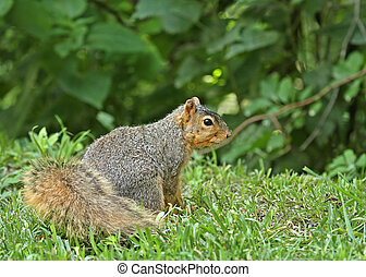 Fox Squirrel Sciurus niger - Fox squirrel sciurus niger on...