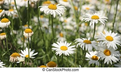 The small white daisies in close-up