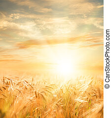Beautiful wheat field. - Beautiful sunset over wheat field.