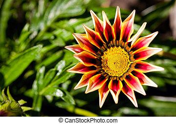 amarela, Gazania, flor, macro, foto