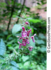 Hedge woundwort or Hedge nettle (Stachys sylvatica)...