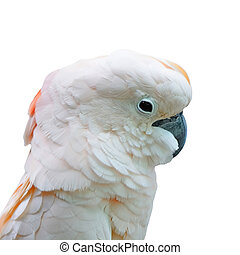 Moluccan isolated - Beautiful pale pink Cockatoo, Moluccan...