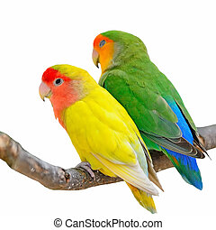 Lovebird isolated - Beautiful bird, Lovebird, standing on...
