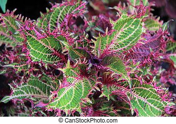 Colorful Coleus leaves