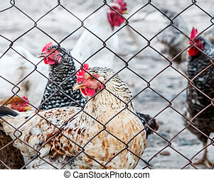 Chickens on poultry farm