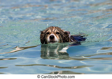 swimming dog - A dog is swimming