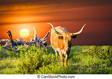 Longhorn Cow Grazing at Sunrise - Female Longhorn cow in a...