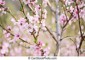 Closeup of peach blossom in full bloom